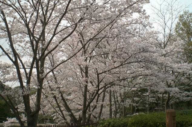 Sakura1104111
