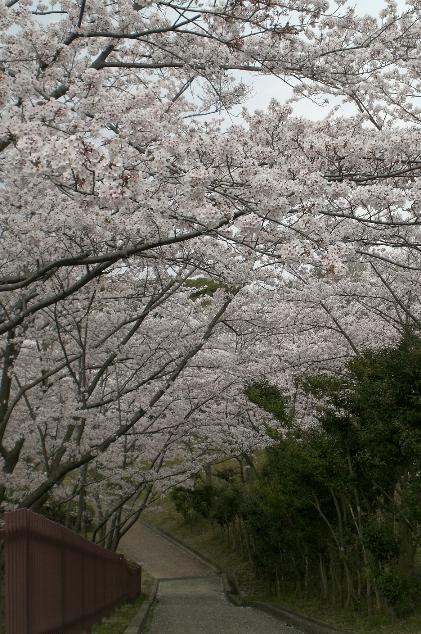 Sakura1104112