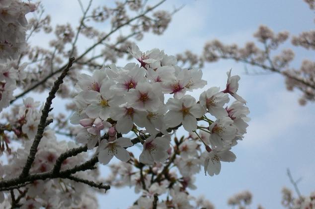Sakura1104113