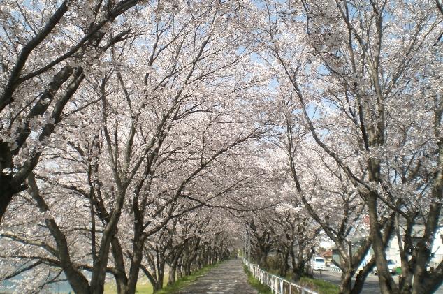 Sakura1104132