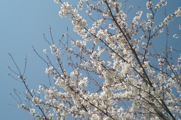 Sakura1104134